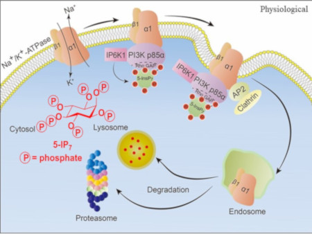 Inositol hexakisphosphate kinase 1 associates with PI 3-kinase PI3K p85α and generates a local pool of 5-InsP7, which binds the RhoGAP domain of PI3K p85α. 5-InsP7 Binding disinhibits the PI3K p85α interaction with Na⁺/K⁺-ATPase-α1, recruiting AP2 that mediates clathrin-mediated endocytosis leading to downstream degradation of Na⁺/K⁺-ATPase-α1. The structure of 5-InsP7 is illustrated.